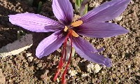Saffron: on the trail of the most expensive spice in the world